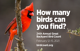 """Red cardinal with the text """"How Many Birds Will You Find?"""" The Great Backyard Bird Count"""
